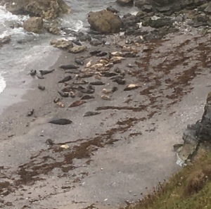 Seals on the rocky beach at Godrevy